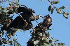 Burning questions for endangered black cockatoos