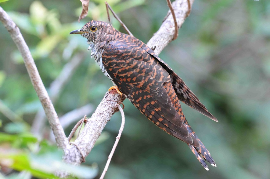 The brush cuckoo is classified a woodland bird in 62.5% of lists. (Photo by Eric Vanderuys)