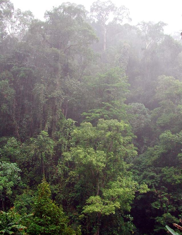 Indonesian Rainforest KGillow