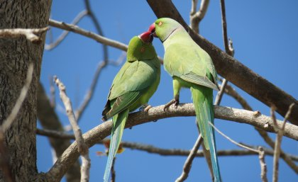Rose-ringed parakeet. Photo: Salit Kark