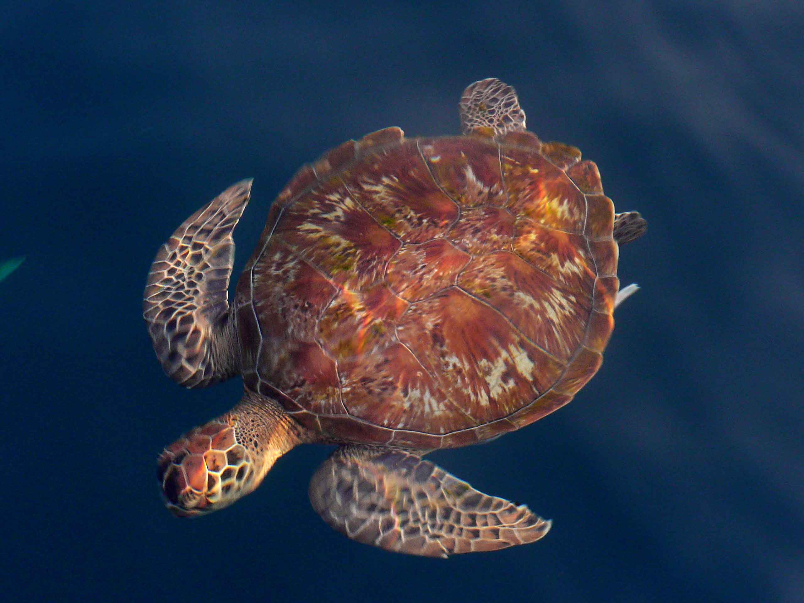 Loggerhead Turtle photo by Tessa Mazor