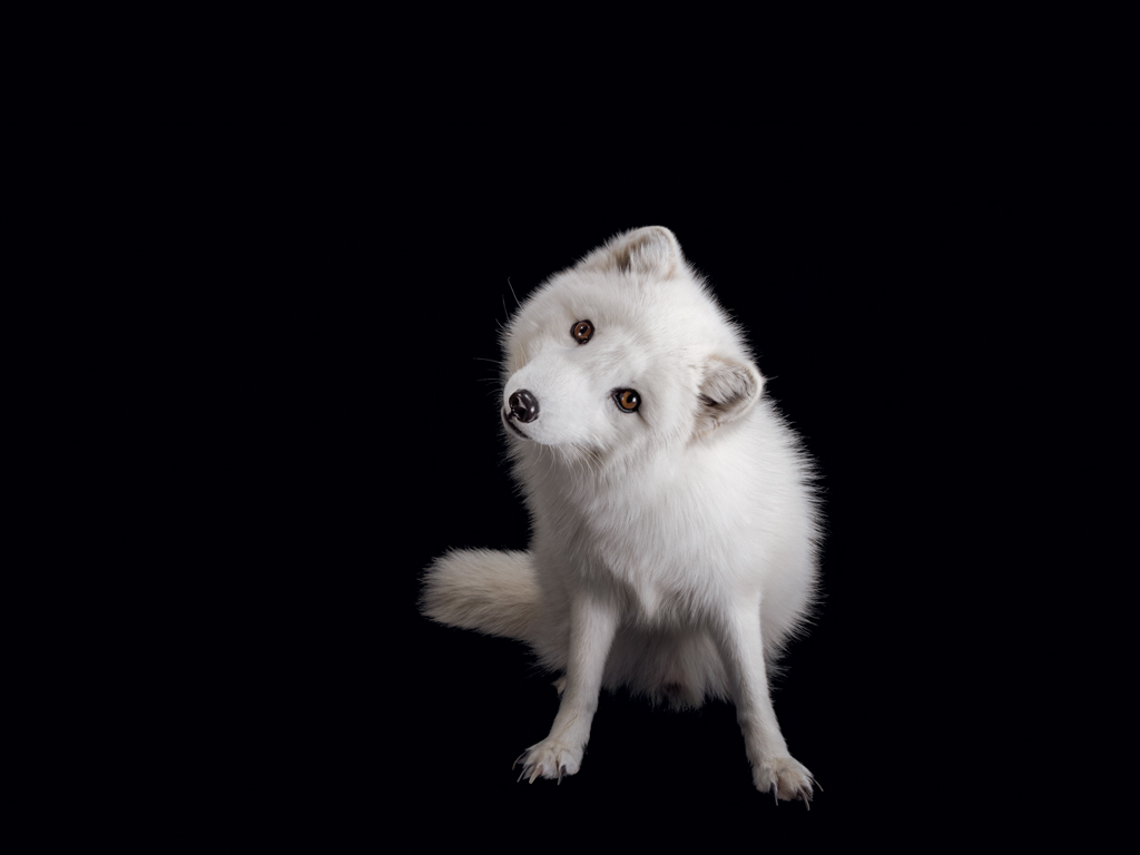 04 arctic fox new NatGeo