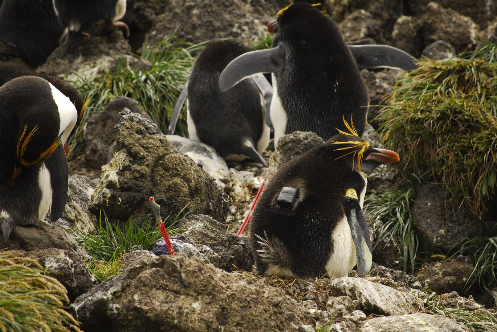 Macaroni penguin with tracking device by A Sheffer