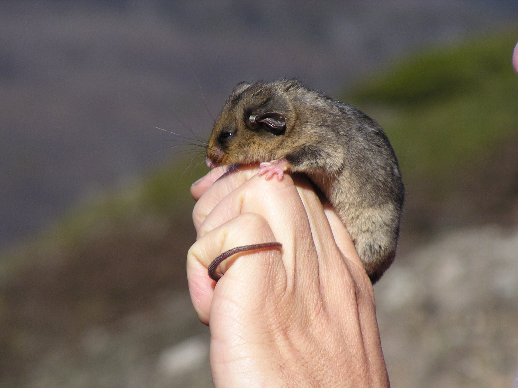 Mountain Pygmie Possum   Flickr CC Aust Alps